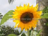 Sun Flower from the Northeast of Brazil