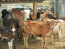 Farm for sale in Campina Grande - Dairy cattle on the farm