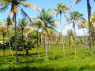Farm for sale in Joao Pessoa - Part of coconut plantation